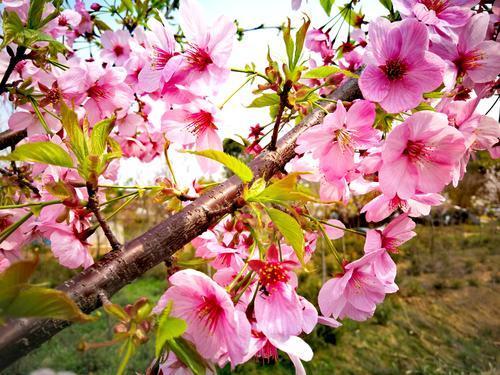 春游赏花好去处!马鞍山这个地方600亩樱花盛开