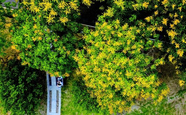 """栾树花开,到马鞍山这些地方邂逅""""黄金雨"""""""