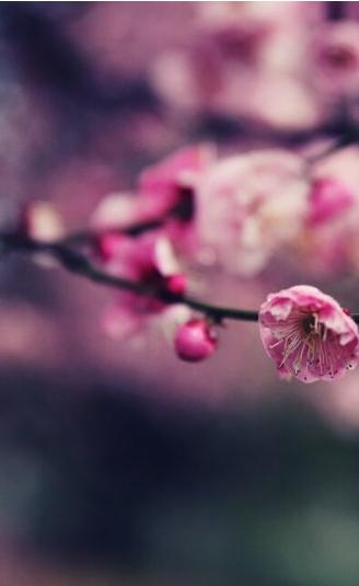 梅花(hua)盛開,冬去春(chun)來