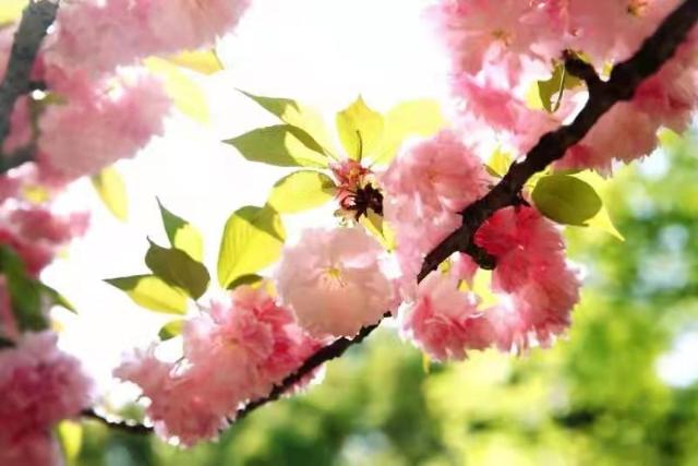 实拍特写!采石滨江绝美的樱花藏不住了!